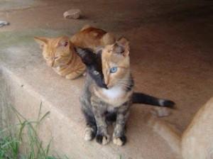 gatto chimera 1