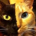 Le due facce di Venus – Il gatto Chimera