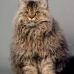 Selkirk Rex, il gatto dal pelo arricciato