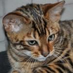 Gatti ibridi. La nuova moda che arriva dalla California