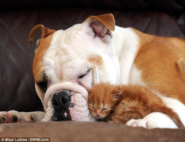 bulldog e gattino