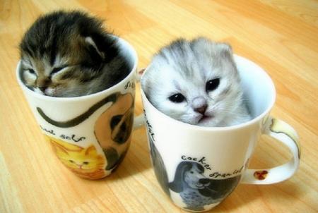 gattini tazza
