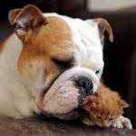 Bulldog dal muso imbronciato adotta un piccolo gattino