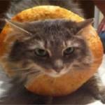 Gatti sandwich. La moda più stramba del web