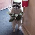 Procione ruba cibo ai gatti [VIDEO DIVERTENTE]