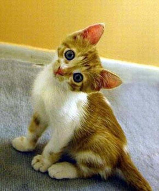 Scopri qual è il gatto più adatto a te! CALCOLA PUNTEGGIO