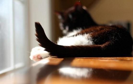 decifrare coda gatto
