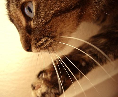 Qual è la funzione dei baffi nei gatti?