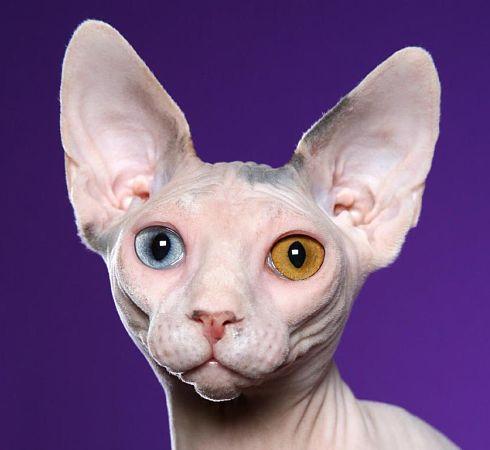 Sphynx, il gatto senza pelo