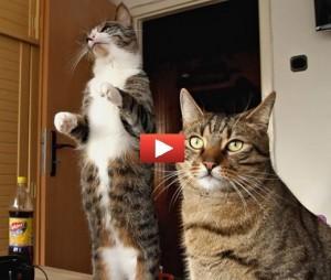Gatto golosone mangia in piedi video for Cosa mangia il gatto