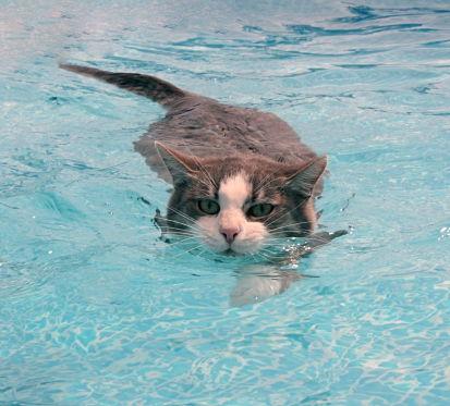 I gatti odiano l'acqua?