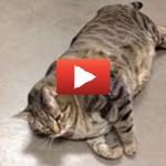 Il gatto più grasso del mondo [VIDEO]