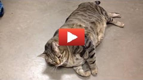 Il Gatto Più Grasso Del Mondo Video