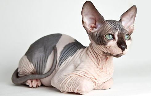 sphynx-cat gatto senza pelo razza