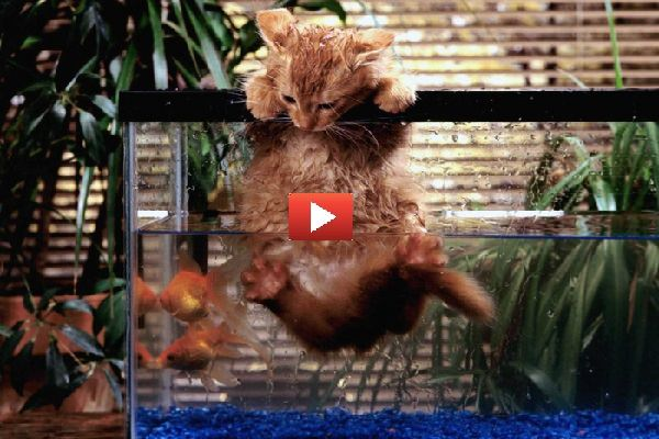 Gatto vuole mangiare un po' di pesce ma l'acquario lo blocca [VIDEO DIVERTENTE]
