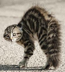 gatto spaventato coda