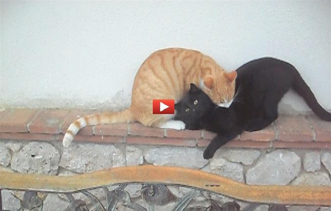 L'amore tra gatti è il sentimento più puro del mondo! [VIDEO]