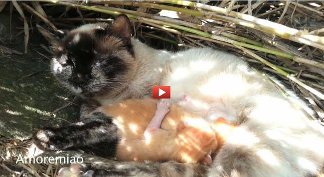 Gattino neonato fa dispetti al rossiccio per accaparrarsi il latte di mamma gatta! [VIDEO]