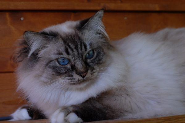 Expo felina in mostra i gatti pi belli del mondo for I gatti mangiano le tartarughe