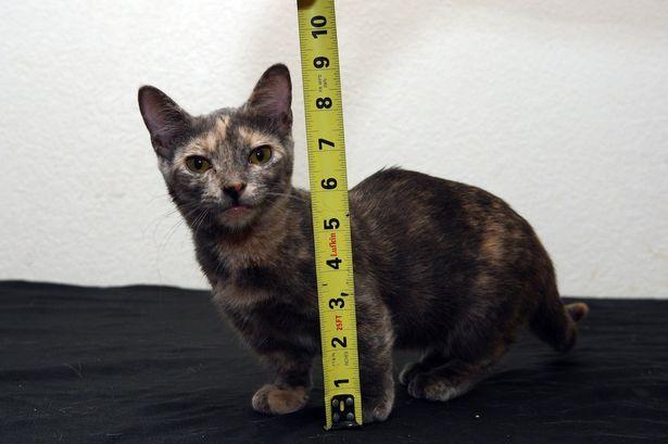 Ecco il gatto più piccolo del mondo
