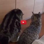 Gatto chiama l'amico forzuto per combinare marachella! [VIDEO]