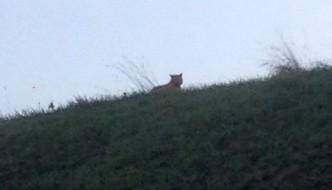 Allarme tigre in Francia, ma è solo un gatto randagio!