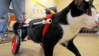 Scooter il gatto su due zampe che porta la gioia di vivere ai malati