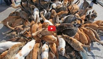 La meravigliosa isola dei gatti in Giappone [VIDEO]