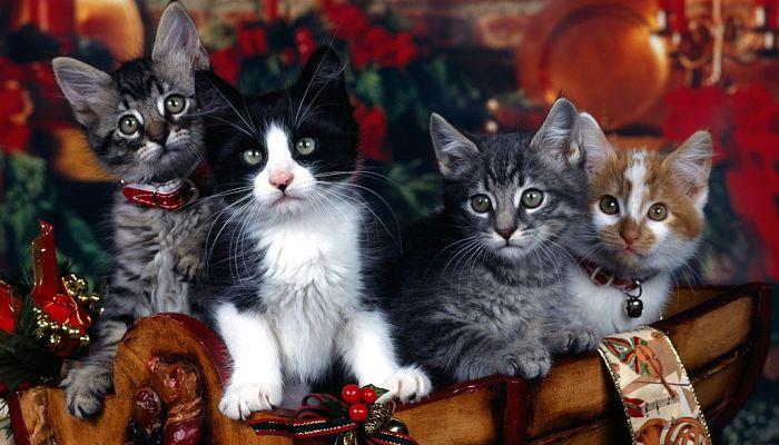 Immagini Natale Con Gatti.10 Insidie Di Natale Per I Gatti