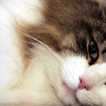 Gatti senza cuore: ci tollerano solo per il cibo
