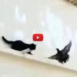 Piccione si prende gioco di un gatto! [VIDEO]