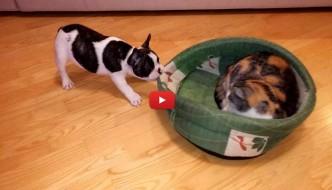 Gatto ruba il letto a un cucciolo di cane! [VIDEO]