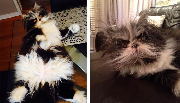 gatto peloso