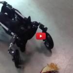 Tumbelina, la gatta paralizzata avrà una seconda chance [VIDEO]