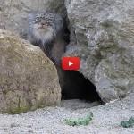 Il rarissimo gatto di Pallas esce dalla grotta [VIDEO]