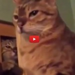 Gatto distratto, l'amico gli tende un agguato [VIDEO]