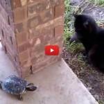 "Tartaruga gioca a ""Girotondo"" col gatto"