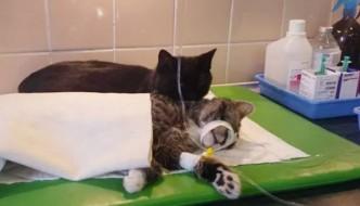 Radamenes, il gatto infermiere che cura gli animali