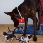 Black, il cane che accudisce i gattini [VIDEO]
