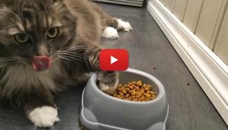 Gatto mangia sdraiato come gli imperatori romani [VIDEO]