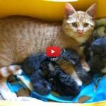 Il gatto Henry adotta sei cuccioli [VIDEO]