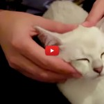 Il gatto che si rilassa con i massaggi [VIDEO]