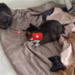 Gatti: dal puntatore laser si scatena una rissa [VIDEO]
