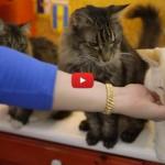 La super intelligenza dei gatti: imparano il linguaggio dei segni [VIDEO]