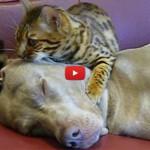 Alano in estasi grazie ai massaggi dell'amico gatto [VIDEO]