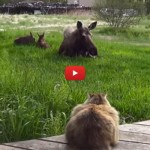 Gatto rischia grosso: viene cacciato da mamma alce