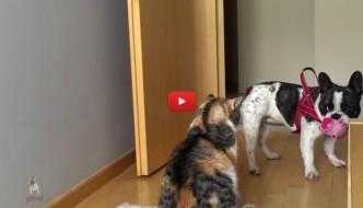 Cagnolino tenta di giocare, ma il gatto lo ignora [VIDEO]