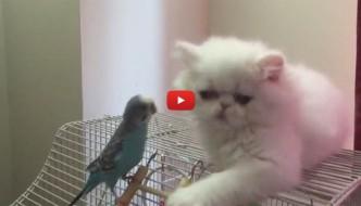 Piccolo gatto persiano ha un pappagallo come amico [VIDEO]