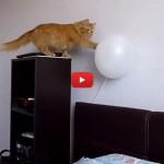 Il palloncino fa BOOM e il gatto non c'è più! [VIDEO]