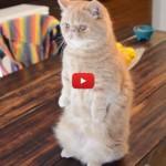 George, il gatto che sta su due zampe [VIDEO]